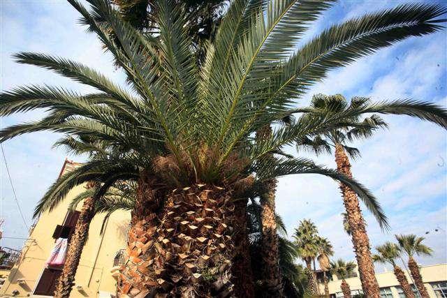 Δήμος Άργους: Αντιμετώπιση κόκκινου σκαθαριού του φοίνικα