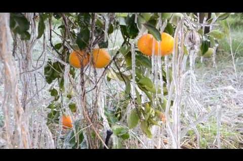 ArgolidaPortal.gr ΑΡΓΟΛΙΔΑ-Παγετός στην Αργολίδα προβλήματα στις καλλιέργειες