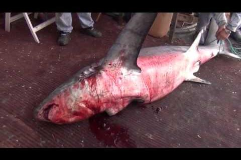 ArgolidaPortal.gr Ψαράς από τη Νέα Κίο ψάρεψε καρχαρία στον Αργολικό κόλπο