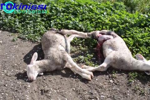ArgolidaPortal.gr ΝΕΑ ΚΙΟΣ- Δεύτερη επίθεση αδέσποτων σκύλων σε στάνη
