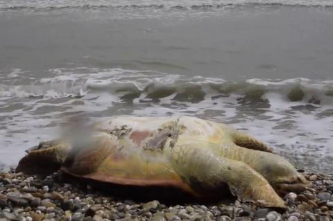 ArgolidaPortal.gr ΑΡΓΟΣ-Νεκρή χελώνα καρέτα-καρέτα στη παραλία Τημενίου